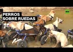 Enlace a Así es cuidar de decenas de perros en silla de ruedas