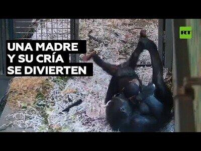 Así de bien se lo pasan un madre chimpancé y su cría