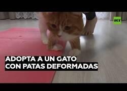 Enlace a La vida de un gato con malformaciones en las patas