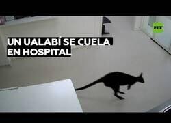 Enlace a Un ualabí se cuela en un hospital