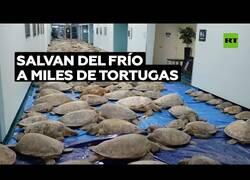 Enlace a Rescatan a miles de tortugas de las bajas temperaturas