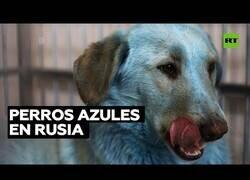 Enlace a Aparecen perros azules en Rusia