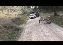 Enlace a Una zebra consigue huir de una leona que ya la había atrapado