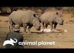 Enlace a Wild Frank se hace el muerto delante de rinocerontes para que no le ataquen