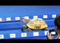 Enlace a Carrera real entre una tortuga y una liebre
