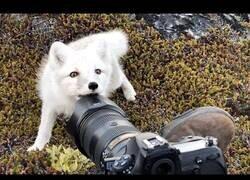 Enlace a Así es un encuentro con un zorro ártico en Groenlandia