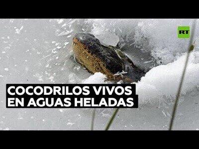 Caimanes siguen vivos bajo el hielo
