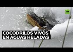 Enlace a Caimanes siguen vivos bajo el hielo