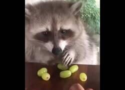 Enlace a Este tejón no quiere que le quiten sus uvas