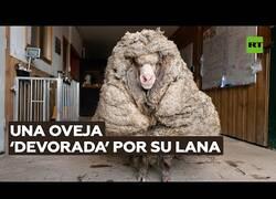 Enlace a Encuentran una oveja con 35 kilos de lana
