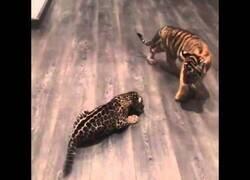 Enlace a Cría de jaguar conoce a una cría de tigre