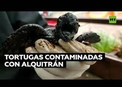 Enlace a Salvan a tortugas del Mediterraneo contaminadas de alquitrán