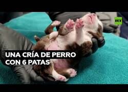 Enlace a Nace una cría de perro con 6 patas