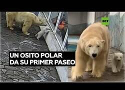 Enlace a Así es el primer paseo en la vida de un oso polar