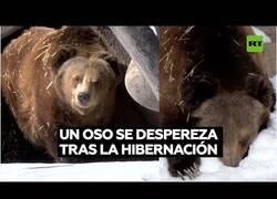 Enlace a Así sale un oso de la hibernación