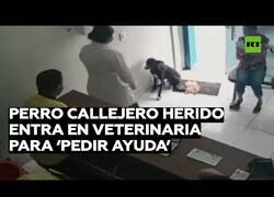 Enlace a Un perro callejero herido entra en un veterinario pidiendo ayuda