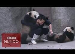 Enlace a Osos panda juegan con su cuidador para que no le de la medicación