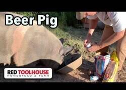 Enlace a Un granjero utiliza cerveza para sedar a un cerdo