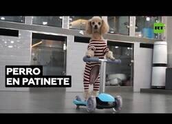 Enlace a El perro que sabe montar en patinete