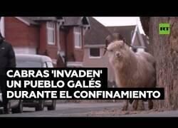 Enlace a Cabras invaden un las calles de un pueblo en Gales