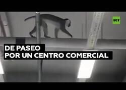 Enlace a Un mono se pasea por un centro comercial