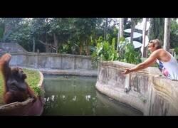 Enlace a Un orangután hace un intercambio justo con un humano