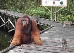 Enlace a Nunca le quites una banana de la boca a un orangután