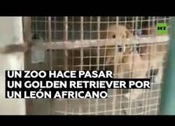 Enlace a Un zoo hace pasar un golden retriever por un león