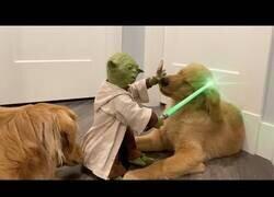 Enlace a Perros juegan con un muñeco realista de Yoda