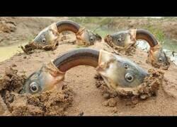 Enlace a Peces subterráneos comparten anguilas para comer