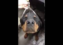 Enlace a Un rottweiler recibe un masaje en la cabeza