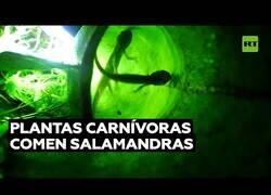 Enlace a Plantas carnívoras capaces de comer salamandras