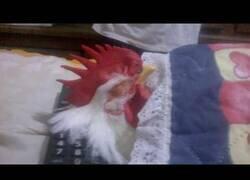 Enlace a Cómo dormir a un gallo
