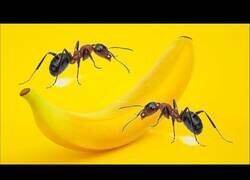 Enlace a ¿Qué le harán las hormigas a una plátano durante 24 horas? Lapso de tiempo con hormigas.