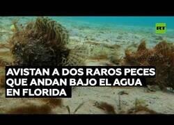 Enlace a Descubren extraños peces en los mares de Florida