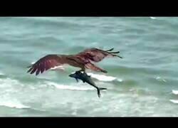 Enlace a Un águila atrapa a un tiburón en EEUU