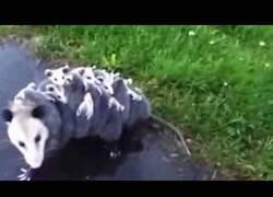 Enlace a Una mamá zarigüeya carga con sus 15 crías