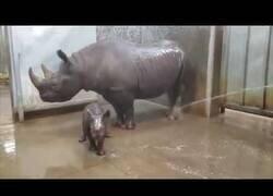 Enlace a Así bañan a un rinoceronte y a su cría