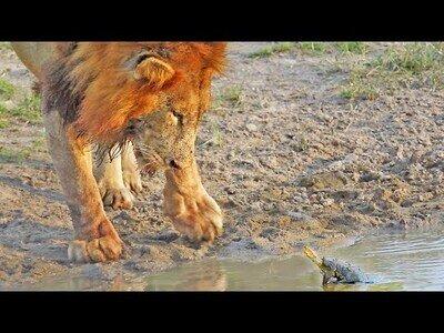 Tortuga no quiere que leones beban de su estanque
