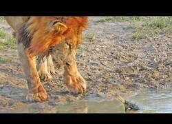Enlace a Tortuga no quiere que leones beban de su estanque