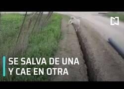 Enlace a Rescatan a una oveja de una zanja para que vuelva a caer segundos después