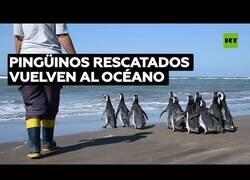 Enlace a Pingüinos rescatados son devueltos al mar