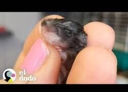 Enlace a Así es el crecimiento de un pequeño ratón en apenas 30 días