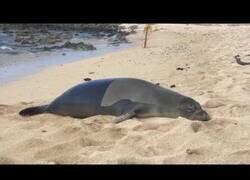 Enlace a Una foca se tira un pedo mirando a cámara