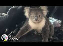Enlace a Un hombre intenta echar a un koala de su coche