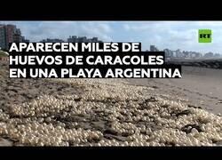 Enlace a Costas argentinas aparecen con miles de huevos de caracol