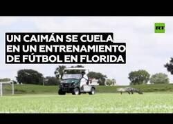 Enlace a Un caimán se cuela en un entrenamiento de fútbol