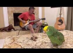 Enlace a Poniendo base de guitarra al canto de un loro