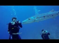 Enlace a Una barracuda se come a un pez león delante de unos buzos