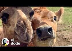 Enlace a Una vaca y un camello se hacen mejores amigos
